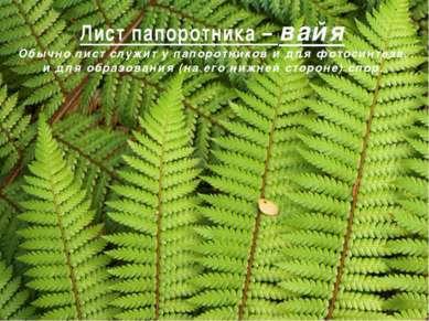 Лист папоротника – вайя Обычно лист служит у папоротников и для фотосинтеза, ...
