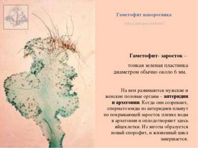 Гаметофит папоротника (под микроскопом) Гаметофит- заросток – тонкая зеленая ...