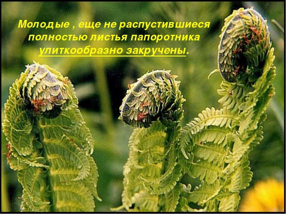 Молодые , еще не распустившиеся полностью листья папоротника улиткообразно за...