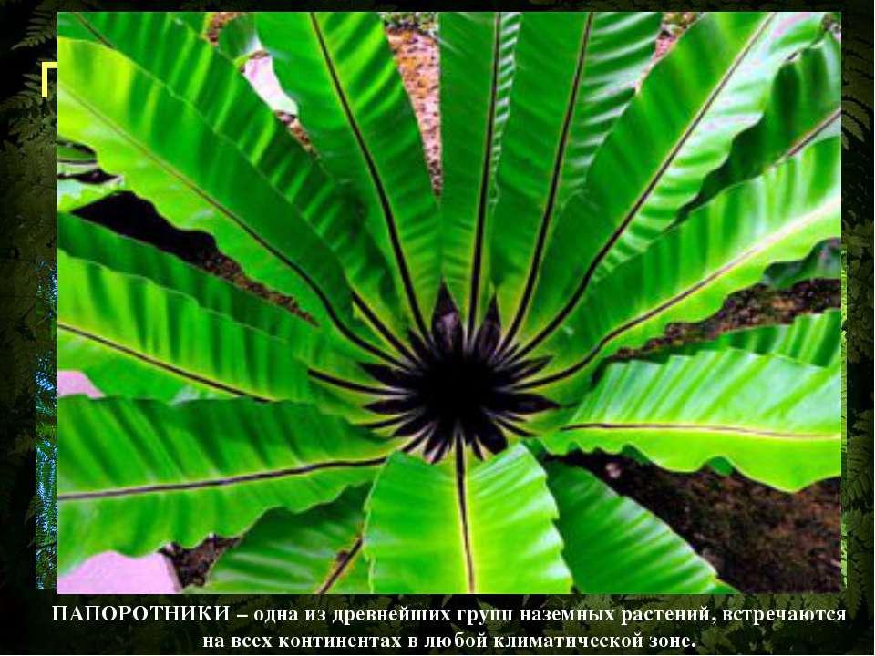 Папоротниковидные – большая группа споровых растений, насчитывающая свыше 10 ...