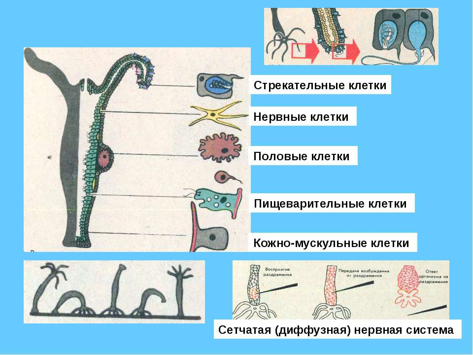 Стрекательные клетки Нервные клетки Половые клетки Пищеварительные клетки Кож...