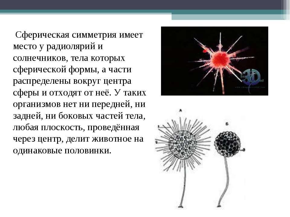 Сферическая симметрия имеет место у радиолярий и солнечников, тела которых сф...