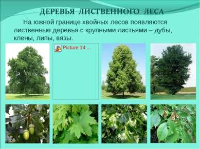 На южной границе хвойных лесов появляются лиственные деревья с крупными листь...