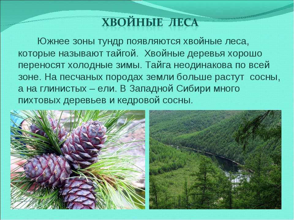 Южнее зоны тундр появляются хвойные леса, которые называют тайгой. Хвойные де...