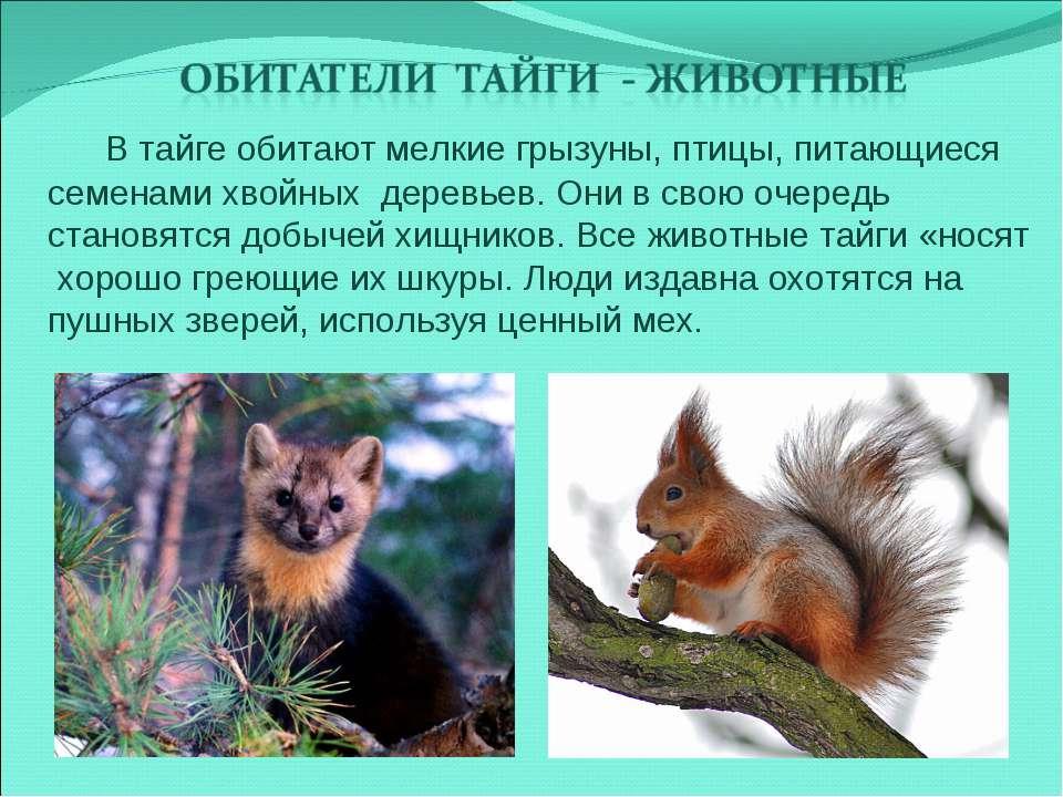 В тайге обитают мелкие грызуны, птицы, питающиеся семенами хвойных деревьев. ...