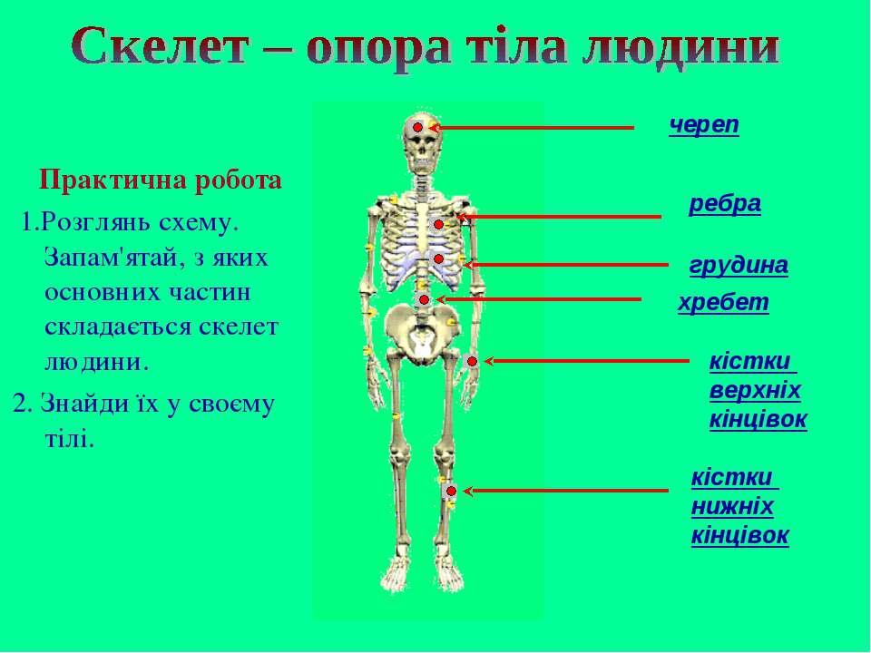 череп ребра грудина кістки верхніх кінцівок хребет кістки нижніх кінцівок Пра...