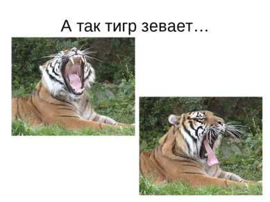 А так тигр зевает…