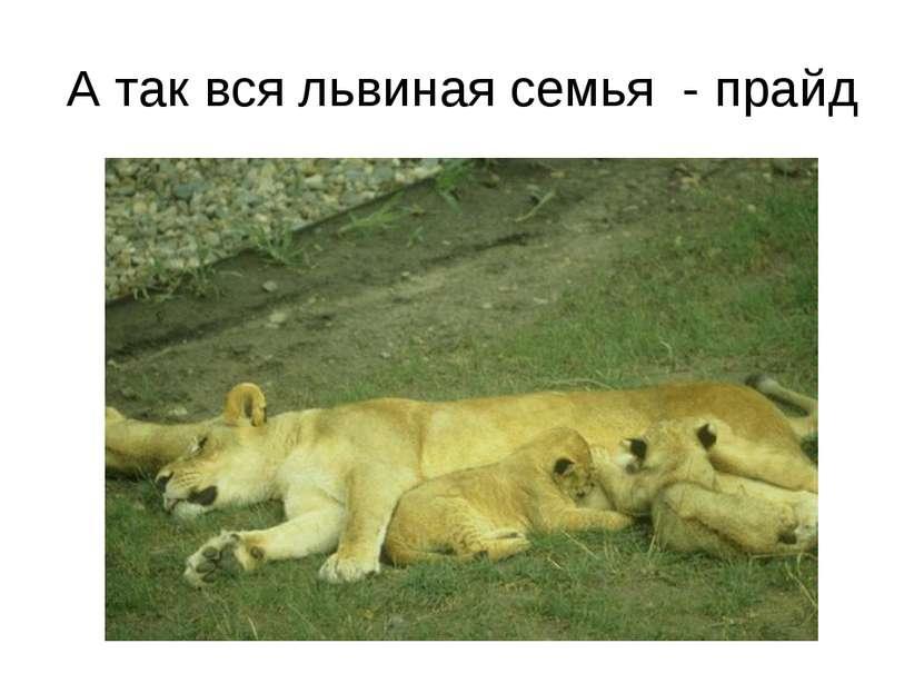 А так вся львиная семья - прайд