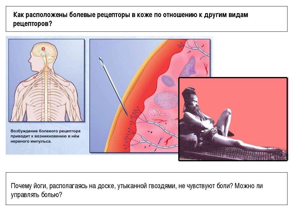 Как расположены болевые рецепторы в коже по отношению к другим видам рецептор...