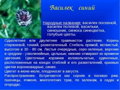 Василек синий Народные названия: василек посевной, василек полевой, васильки,...