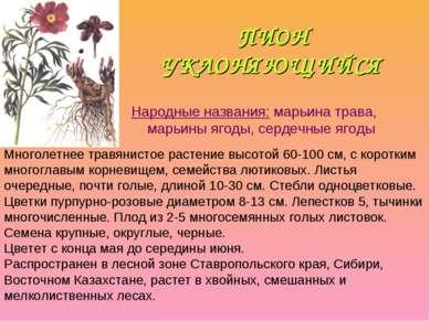 ПИОН УКЛОНЯЮЩИЙСЯ Народные названия: марьина трава, марьины ягоды, сердечные ...