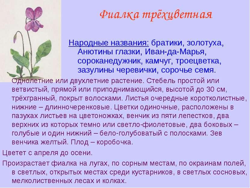 Фиалка трёхцветная Народные названия: братики, золотуха, Анютины глазки, Иван...