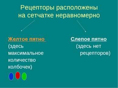 Рецепторы расположены на сетчатке неравномерно Желтое пятно Слепое пятно (зде...