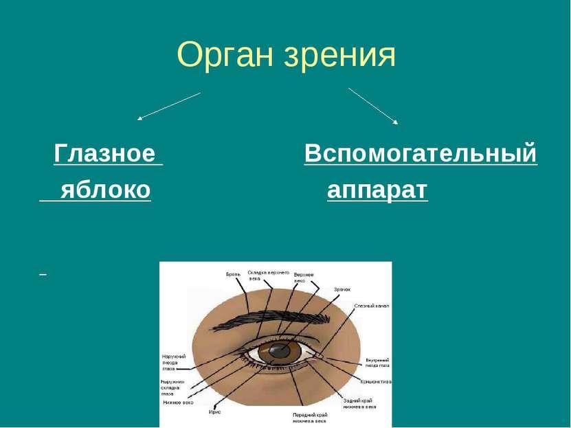 Орган зрения Глазное Вспомогательный яблоко аппарат