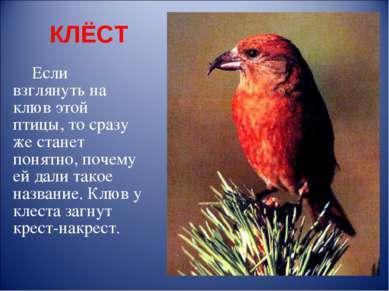 КЛЁСТ Если взглянуть на клюв этой птицы, то сразу же станет понятно, почему е...
