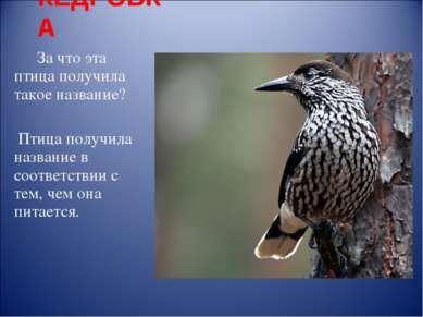 КЕДРОВКА За что эта птица получила такое название? Птица получила название в ...