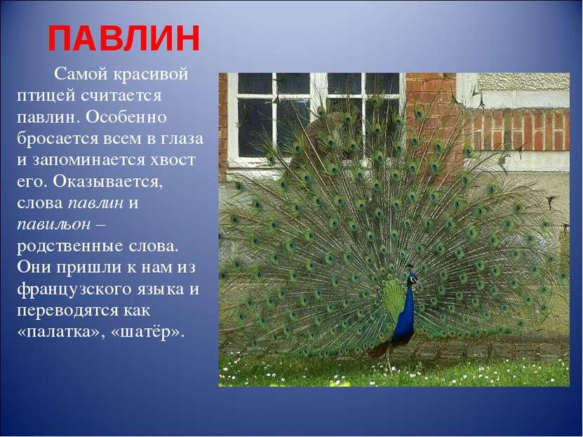 ПАВЛИН Самой красивой птицей считается павлин. Особенно бросается всем в глаз...