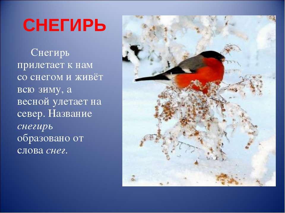 СНЕГИРЬ Снегирь прилетает к нам со снегом и живёт всю зиму, а весной улетает ...