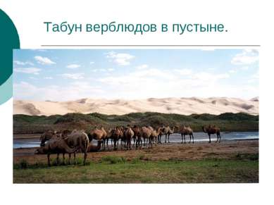 Табун верблюдов в пустыне.