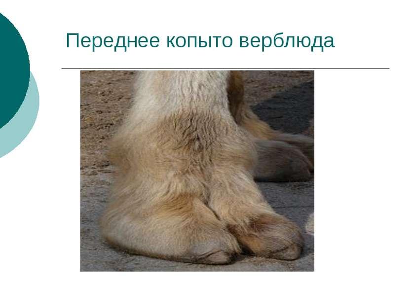 Переднее копыто верблюда