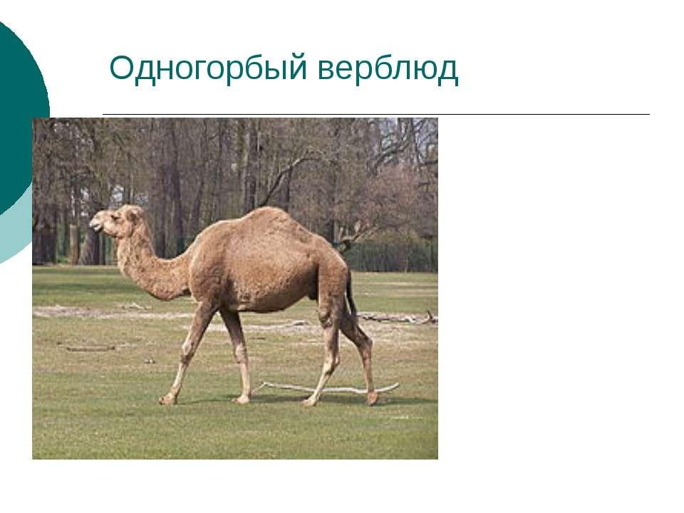 Одногорбый верблюд