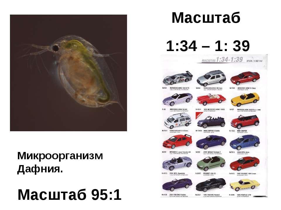Масштаб 1:34 – 1: 39 Микроорганизм Дафния. Масштаб 95:1