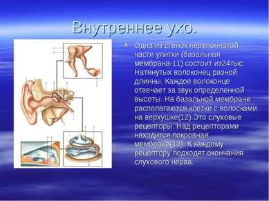 Внутреннее ухо. Одна из стенок перепончатой части улитки (базальная мембрана-...