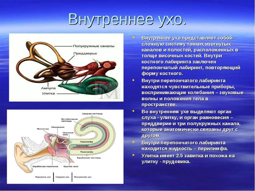 Внутреннее ухо. Внутреннее ухо представляет собой сложную систему тонких изог...