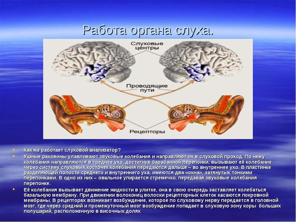 Работа органа слуха. Как же работает слуховой анализатор? Ушные раковины улав...