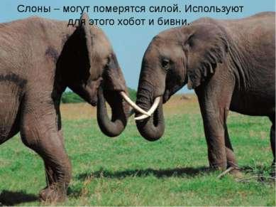 Слоны – могут померятся силой. Используют для этого хобот и бивни.