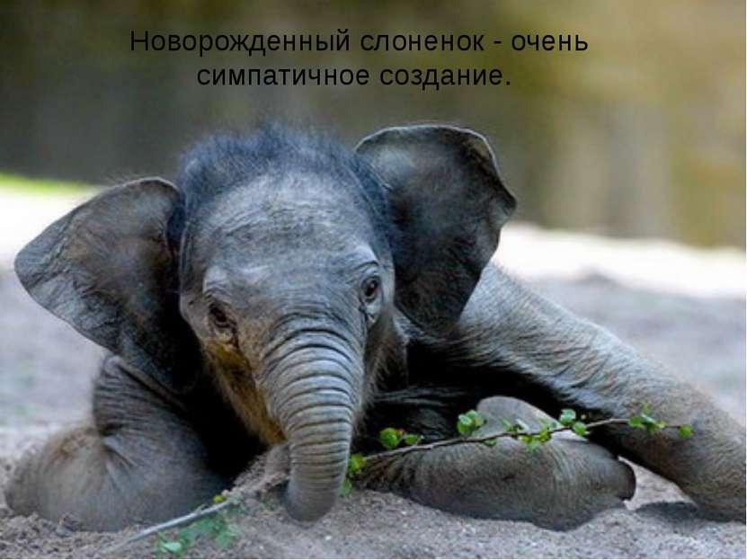 Новорожденный слоненок - очень симпатичное создание.