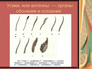 Усики, или антенны — органы обоняния и осязания