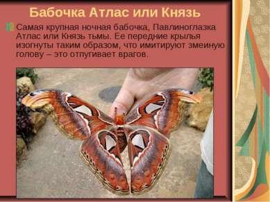 Бабочка Атлас или Князь Самая крупная ночная бабочка, Павлиноглазка Атлас или...