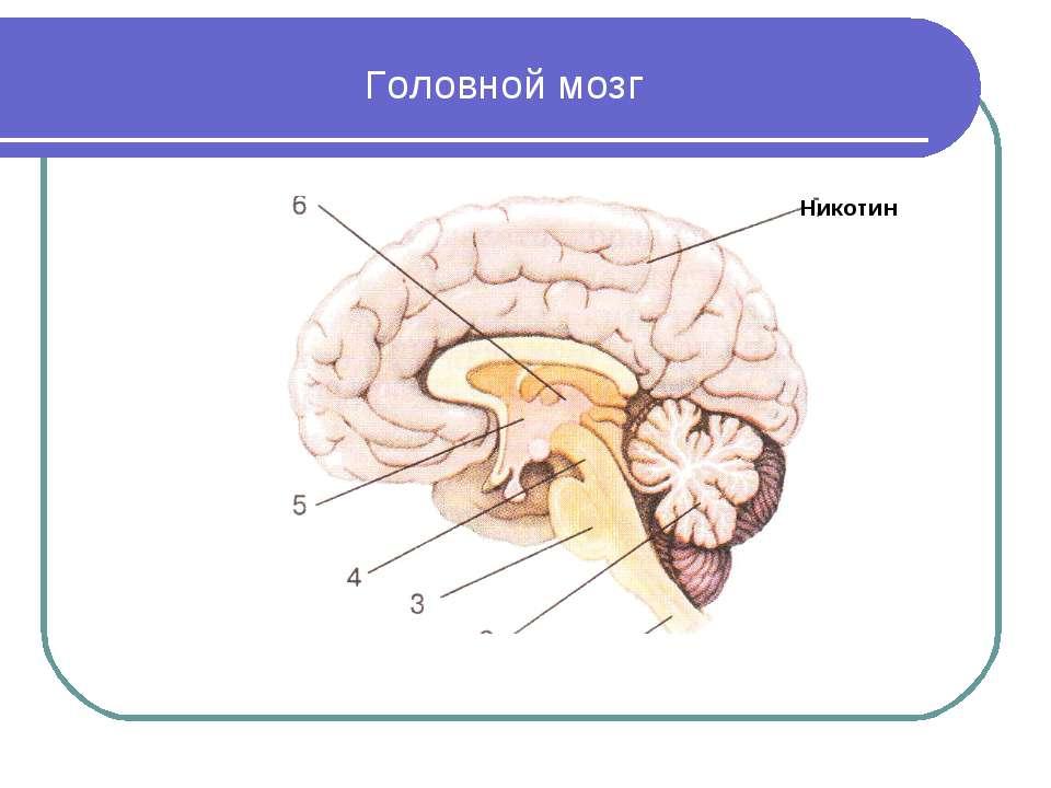 Головной мозг Никотин