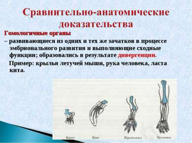 Гомологичные органы – развивающиеся из одних и тех же зачатков в процессе эмб...