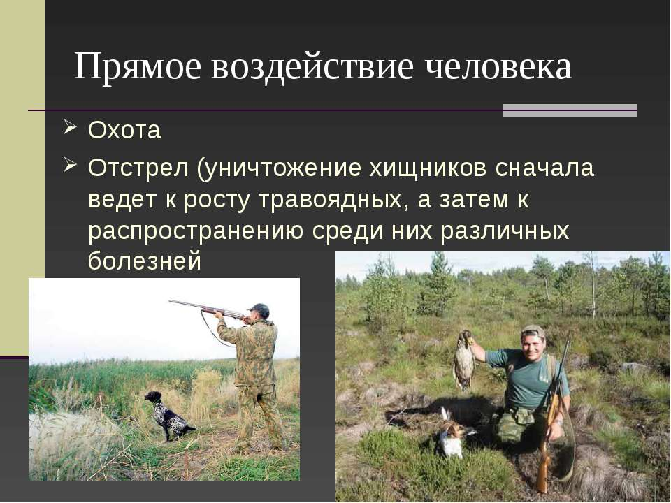 Прямое воздействие человека Охота Отстрел (уничтожение хищников сначала ведет...