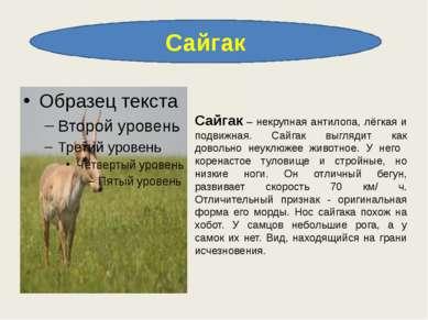 Сайгак Сайгак – некрупная антилопа, лёгкая и подвижная. Сайгак выглядит как д...