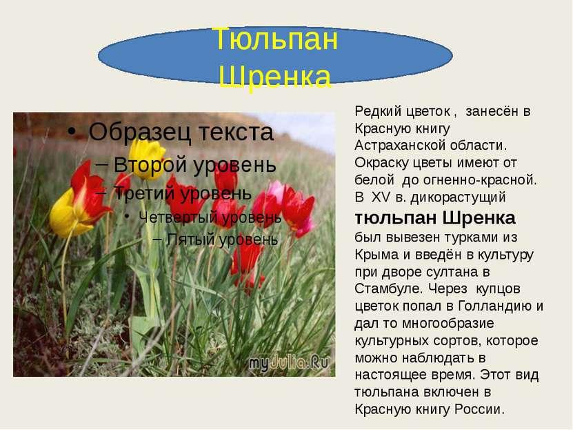 Тюльпан Шренка Редкий цветок , занесён в Красную книгу Астраханской области. ...