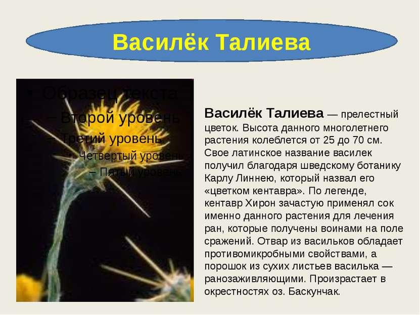 Василёк Талиева Василёк Талиева — прелестный цветок. Высота данного многолетн...