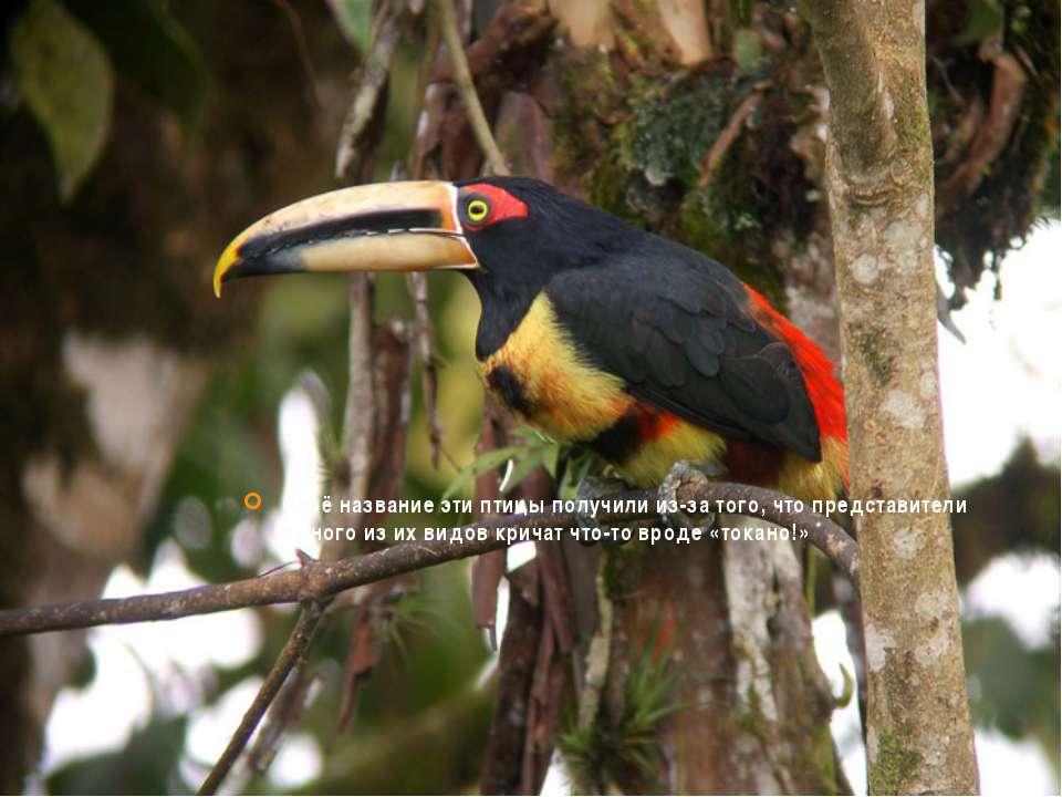 Своё название эти птицы получили из-за того, что представители одного из их в...