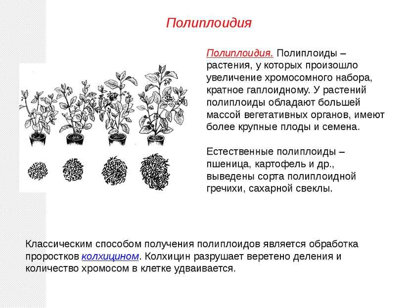 Полиплоидия. Полиплоиды – растения, у которых произошло увеличение хромосомно...