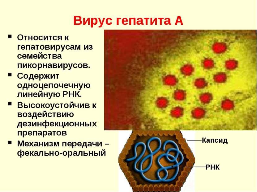 Вирус гепатита А Относится к гепатовирусам из семейства пикорнавирусов. Содер...