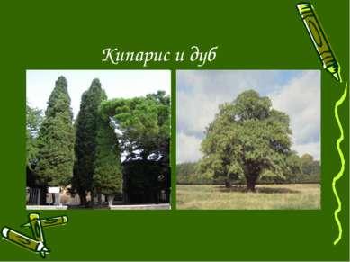 Кипарис и дуб