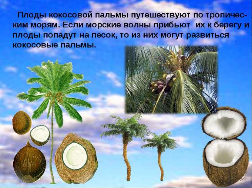 Плоды кокосовой пальмы путешествуют по тропичес- ким морям. Если морские волн...