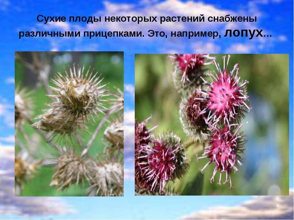 Сухие плоды некоторых растений снабжены различными прицепками. Это, например,...