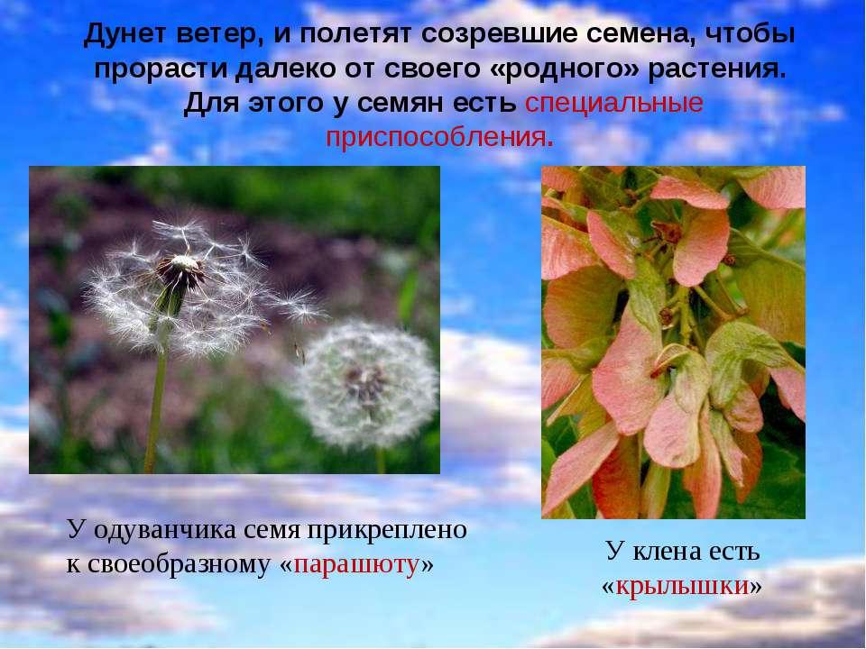 Дунет ветер, и полетят созревшие семена, чтобы прорасти далеко от своего «род...