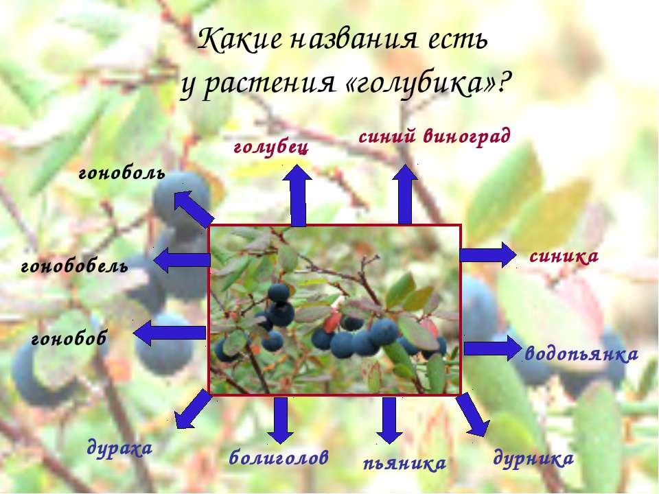 Какие названия есть у растения «голубика»? гонобоб гонобобель дураха болиголо...