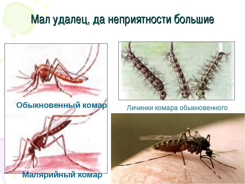 Мал удалец, да неприятности большие Обыкновенный комар Малярийный комар Личин...