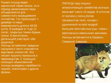 Рыжая лисица ведет одиночный образ жизни, но в период размножения пары объеди...