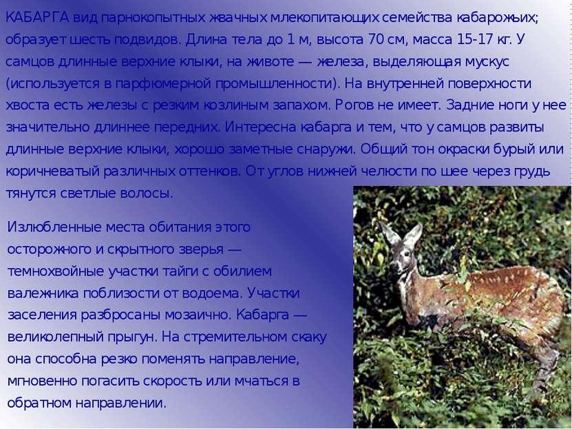 КАБАРГА вид парнокопытных жвачных млекопитающих семейства кабарожьих; образуе...